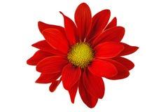 Röd blomma bara på en vit bakgrund arkivfoton