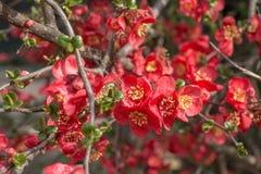 Röd blomma Bush Royaltyfri Fotografi