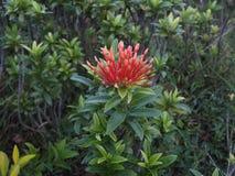 Röd blomma, centrala Java indonesia royaltyfri fotografi