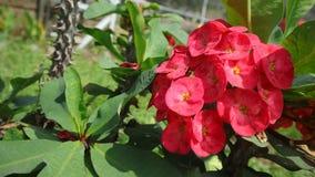 Röd blomma  christ växt arkivfoto
