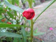 Röd blomma eller knopp Fotografering för Bildbyråer