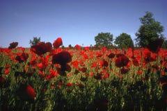 Röd blomma ett helt fält underifrån arkivfoton