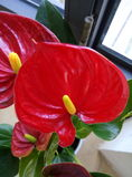 Röd blomma för Anthurium Arkivbild