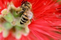 Röd blomma för bi royaltyfria bilder
