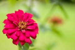 Röd blomma för blomning på oskarp bakgrund Royaltyfri Foto