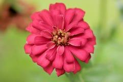 Röd blomma för blomning på oskarp bakgrund Royaltyfri Fotografi