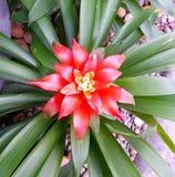 röd blomma för bromelia Arkivfoto