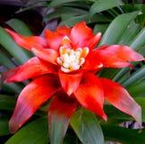 röd blomma för bromelia Arkivbild