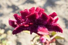 Röd blomma för Celosiacristata Arkivbild