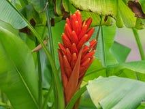 Röd blomma för Closeup av den scharlakansröda bananen, röd-blomning banan Arkivbild