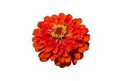 Röd blomma för elegant zinnia som isoleras på vit royaltyfri fotografi