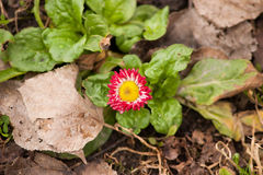 Röd blomma för första vår Royaltyfria Bilder