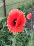 Röd blomma för gullig liitle Med stor svart kärna ur fotografering för bildbyråer