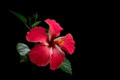 Röd blomma för hibiskus Arkivbild