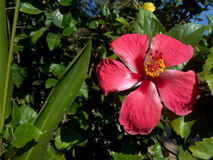 Röd blomma för hibiskus Arkivbilder