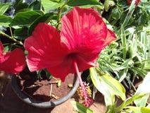 Röd blomma för hibiskus royaltyfri foto