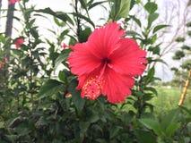 Röd blomma för hibiskus royaltyfria bilder