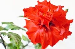 Röd blomma för hibiskus i blomning Royaltyfri Bild