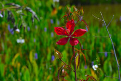 Röd blomma för hibiskus (rosa-sinensis) med grön bakgrund Royaltyfria Foton