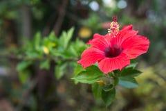 Röd blomma för indisk hibiskus fotografering för bildbyråer
