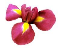 Röd blomma för iris Vit isolerad bakgrund med den snabba banan Closeup inga skuggor Royaltyfri Fotografi