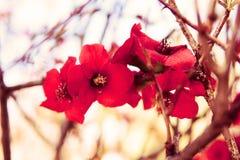 Röd blomma för körsbärsröd blomning royaltyfria foton