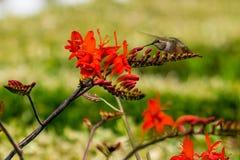 Röd blomma för kolibri arkivbilder