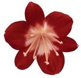 Röd blomma för lilja som isoleras med den snabba banan, på en vit bakgrund ljus - rosa pistillar, stamens Ljus-rosa färger mitt F Royaltyfri Bild