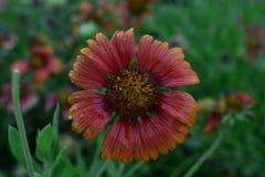 Röd blomma för monsun Royaltyfri Bild