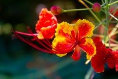 Röd blomma för påfågel Royaltyfria Foton
