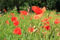 Röd blomma för vallmofält Arkivfoton