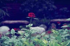 Röd blomma för vanlig hortensia arkivbild