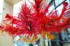 Röd blomma för Vetiver Arkivbild