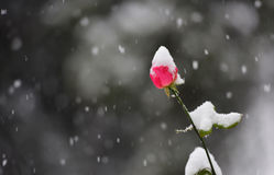 Röd blomma, i att snöa Arkivfoto