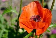 Röd blomma i bloomm Arkivfoton