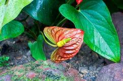 Röd blomma i den berömda Singapore botaniska trädgården Arkivfoto
