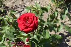Röd blomma i en parkera royaltyfri bild