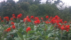 Röd blomma i en trädgård stock video