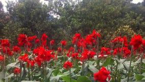 Röd blomma i en trädgård lager videofilmer