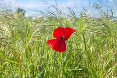Röd blomma i gräset Arkivbilder