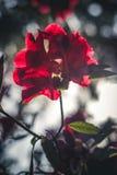 Röd blomma i solljus royaltyfria foton