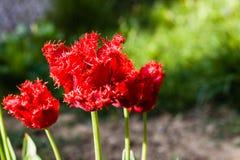 Röd blomma i sommar eller vår med grön mjuk bakgrund Royaltyfri Fotografi