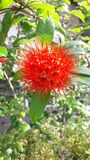Röd blomma i Sri Lanka royaltyfria bilder