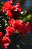 Röd blomma i trädgården, rhododendron Royaltyfria Foton