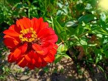 Röd blomma i växt arkivfoto