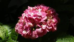 Röd blomma - 4K, UHD, BlackMagic 4K produktionkamera Arkivfoton