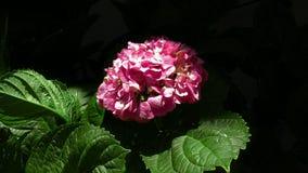 Röd blomma - 4K, UHD, BlackMagic 4K produktionkamera Royaltyfria Bilder