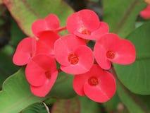 Röd blomma - krona av taggar, Kristustagg Fotografering för Bildbyråer