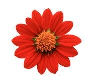 Röd blomma - krysantemum Royaltyfri Foto