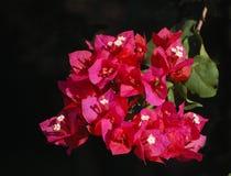 Röd blomma med den delikata vita mitten Arkivfoton